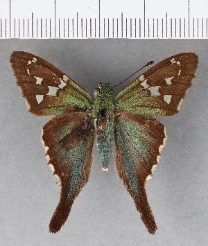 (Hesperiidae_gen sp. CF576 - CFCD00985)  @11 [ ] copyright (2018) Christer Fahraeus Fahraeus Institute