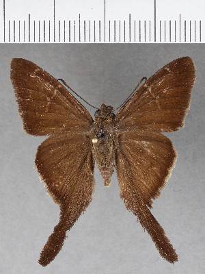 (Hesperiidae_gen sp. CF578 - CFCD00988)  @11 [ ] copyright (2018) Christer Fahraeus Fahraeus Institute