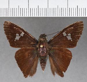 (Hesperiidae_gen sp. CF581 - CFCD00993)  @11 [ ] copyright (2018) Christer Fahraeus Fahraeus Institute