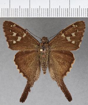 (Hesperiidae_gen sp. CF582 - CFCD00998)  @11 [ ] copyright (2018) Christer Fahraeus Fahraeus Institute
