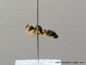 ( - BC ZSM HYM 08222)  @13 [ ] CreativeCommons - Attribution Non-Commercial Share-Alike (2010) Stefan Schmidt SNSB, Zoologische Staatssammlung Muenchen