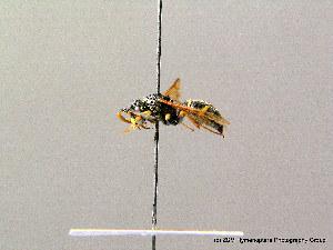 ( - BC ZSM HYM 08223)  @13 [ ] CreativeCommons - Attribution Non-Commercial Share-Alike (2010) Stefan Schmidt SNSB, Zoologische Staatssammlung Muenchen