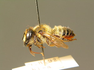 (Megachile genalis - BC ZSM HYM 01866)  @14 [ ] CreativeCommons - Attribution Non-Commercial Share-Alike (2010) Stefan Schmidt SNSB, Zoologische Staatssammlung Muenchen