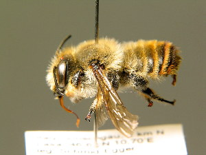 (Megachile lagopoda - BC ZSM HYM 01870)  @14 [ ] CreativeCommons - Attribution Non-Commercial Share-Alike (2010) Stefan Schmidt SNSB, Zoologische Staatssammlung Muenchen