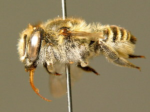 (Megachile leachella - BC ZSM HYM 01878)  @14 [ ] CreativeCommons - Attribution Non-Commercial Share-Alike (2010) Stefan Schmidt SNSB, Zoologische Staatssammlung Muenchen