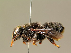 (Megachile parietina - BC ZSM HYM 01891)  @14 [ ] CreativeCommons - Attribution Non-Commercial Share-Alike (2010) Stefan Schmidt SNSB, Zoologische Staatssammlung Muenchen