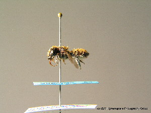 (Megachile giraudi - BC ZSM HYM 06988)  @13 [ ] CreativeCommons - Attribution Non-Commercial Share-Alike (2010) Stefan Schmidt SNSB, Zoologische Staatssammlung Muenchen