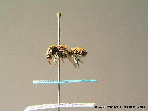 (Megachile giraudi - BC ZSM HYM 06988)  @13 [ ] CreativeCommons - Attribution Non-Commercial Share-Alike (2010) Stefan Schmidt SNSB, Zoologische Staatssammlung Muenchen