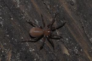 (Hahniidae - BC ZSM ARA 00088)  @15 [ ] CreativeCommons - Attribution Non-Commercial Share-Alike (2010) Stefan Schmidt SNSB, Zoologische Staatssammlung Muenchen