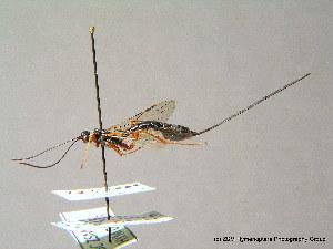 ( - BC ZSM HYM 07505)  @12 [ ] CreativeCommons - Attribution Non-Commercial Share-Alike (2010) Stefan Schmidt SNSB, Zoologische Staatssammlung Muenchen