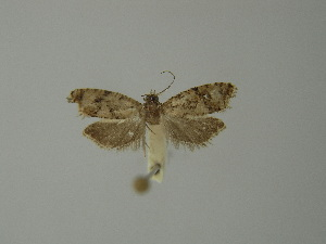 (Zeiraphera ratzeburgiana - BC ZSM Lep 23273)  @14 [ ] Copyright (2010) Axel Hausmann/Bavarian State Collection of Zoology (ZSM) SNSB, Zoologische Staatssammlung Muenchen