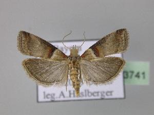( - BC ZSM Lep 23741)  @14 [ ] Copyright (2010) Axel Hausmann/Bavarian State Collection of Zoology (ZSM) SNSB, Zoologische Staatssammlung Muenchen