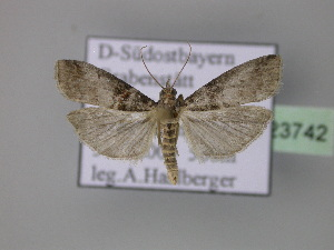 ( - BC ZSM Lep 23742)  @13 [ ] Copyright (2010) Axel Hausmann/Bavarian State Collection of Zoology (ZSM) SNSB, Zoologische Staatssammlung Muenchen