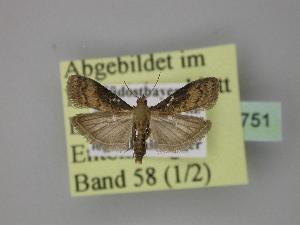 ( - BC ZSM Lep 23751)  @11 [ ] Copyright (2010) Axel Hausmann/Bavarian State Collection of Zoology (ZSM) SNSB, Zoologische Staatssammlung Muenchen
