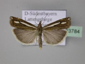 (Crambus ericella - BC ZSM Lep 23784)  @15 [ ] Copyright (2010) Axel Hausmann/Bavarian State Collection of Zoology (ZSM) SNSB, Zoologische Staatssammlung Muenchen