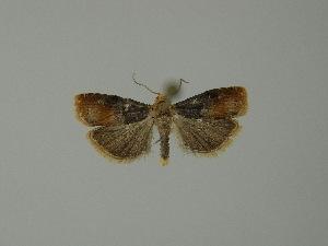 (Lepteucosma - BC ZSM Lep 23484)  @13 [ ] Copyright (2010) Axel Hausmann/Bavarian State Collection of Zoology (ZSM) SNSB, Zoologische Staatssammlung Muenchen