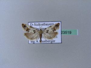 ( - BC ZSM Lep 23519)  @12 [ ] Copyright (2010) Axel Hausmann/Bavarian State Collection of Zoology (ZSM) SNSB, Zoologische Staatssammlung Muenchen