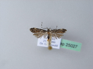 (Acanthophila - BC ZSM Lep 25027)  @11 [ ] Copyright (2010) Axel Hausmann/Bavarian State Collection of Zoology (ZSM) SNSB, Zoologische Staatssammlung Muenchen