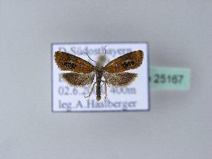 (Olethreutes subtilana - BC ZSM Lep 25167)  @13 [ ] Copyright (2010) Axel Hausmann/Bavarian State Collection of Zoology (ZSM) SNSB, Zoologische Staatssammlung Muenchen