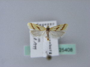 (Aethes dilucidana - BC ZSM Lep 25408)  @13 [ ] CreativeCommons - Attribution Non-Commercial Share-Alike (2010) Axel Hausmann SNSB, Zoologische Staatssammlung Muenchen