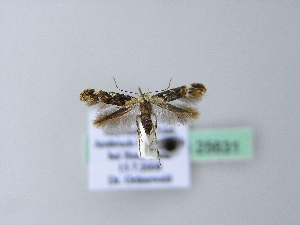 ( - BC ZSM Lep 25631)  @13 [ ] Copyright (2010) Axel Hausmann/Bavarian State Collection of Zoology (ZSM) SNSB, Zoologische Staatssammlung Muenchen