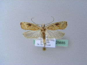 ( - BC ZSM Lep 25685)  @13 [ ] Copyright (2010) Axel Hausmann/Bavarian State Collection of Zoology (ZSM) SNSB, Zoologische Staatssammlung Muenchen