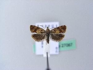 (Epinotia kochiana - BC ZSM Lep 27067)  @13 [ ] CreativeCommons - Attribution Non-Commercial Share-Alike (2010) Axel Hausmann SNSB, Zoologische Staatssammlung Muenchen