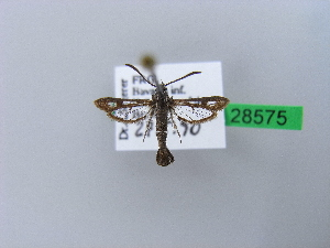 (Synansphecia - BC ZSM Lep 28575)  @11 [ ] CreativeCommons - Attribution Non-Commercial Share-Alike (2010) Axel Hausmann SNSB, Zoologische Staatssammlung Muenchen