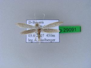 ( - BC ZSM Lep 29091)  @11 [ ] Copyright (2010) Axel Hausmann/Bavarian State Collection of Zoology (ZSM) SNSB, Zoologische Staatssammlung Muenchen