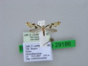 ( - BC ZSM Lep 29186)  @13 [ ] Copyright (2010) Axel Hausmann/Bavarian State Collection of Zoology (ZSM) SNSB, Zoologische Staatssammlung Muenchen