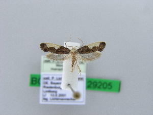 ( - BC ZSM Lep 29205)  @14 [ ] Copyright (2010) Axel Hausmann/Bavarian State Collection of Zoology (ZSM) SNSB, Zoologische Staatssammlung Muenchen