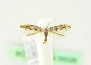 (Phyllonorycter platanoidella - BC ZSM Lep 35026)  @11 [ ] CreativeCommons - Attribution Non-Commercial Share-Alike (2010) Axel Hausmann SNSB, Zoologische Staatssammlung Muenchen