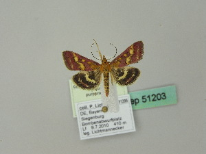 (Pyrausta ostrinalis - BC ZSM Lep 51203)  @15 [ ] CreativeCommons - Attribution Non-Commercial Share-Alike (2010) Andreas Segerer SNSB, Zoologische Staatssammlung Muenchen