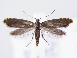 (Glyphipterix thrasonella - BC ZSM Lep 61611)  @14 [ ] CreativeCommons - Attribution Non-Commercial Share-Alike (2010) SNSB, Zoologische Staatssammlung Muenchen SNSB, Zoologische Staatssammlung Muenchen