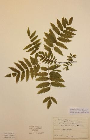 (Sorbus aucuparia subs.aucuparia - H558463)  @11 [ ] Unspecified (default): All Rights Reserved  Unspecified Unspecified