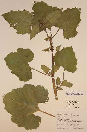 BOLD Systems: Taxonomy Browser - Xanthium strumarium ssp
