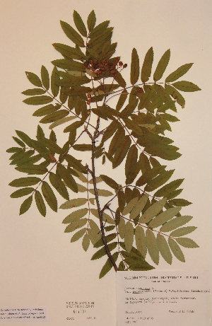 (Sorbus aucuparia var. heteromorpha - H694784)  @11 [ ] Unspecified (default): All Rights Reserved  Unspecified Unspecified
