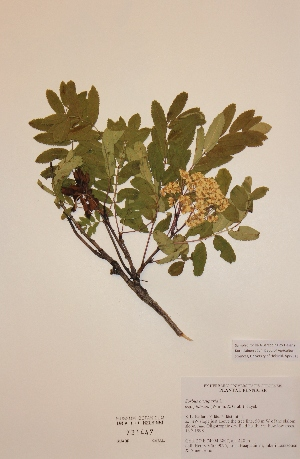 (Sorbus aucuparia subs. glabrata - H731447)  @11 [ ] Unspecified (default): All Rights Reserved  Unspecified Unspecified