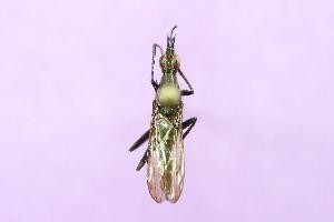 (Neriidae - QCAZI_122058)  @14 [ ] CreativeCommons (2014) David A. Donoso & Emilia Moreno PUCE