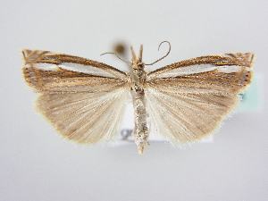 (Crambus silvella - BC ZSM Lep 64058)  @15 [ ] Unspecified (default): All Rights Reserved  Unspecified Unspecified