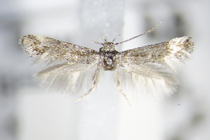 (Elachista orstadii - BC ZSM Lep 70753)  @13 [ ] Unspecified (default): All Rights Reserved  Unspecified Unspecified