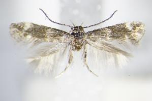 (Elachista subnigrella - BC ZSM Lep 70754)  @13 [ ] Unspecified (default): All Rights Reserved  Unspecified Unspecified