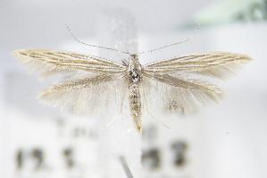 (Coleophora pratella - BC ZSM Lep 70816)  @13 [ ] Unspecified (default): All Rights Reserved  Unspecified Unspecified