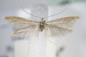 (Coleophora artemisicolella - BC ZSM Lep 70862)  @14 [ ] Unspecified (default): All Rights Reserved  Unspecified Unspecified