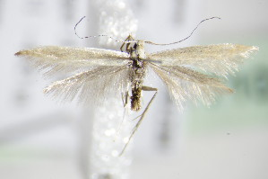 (Coleophora niveicostella - BC ZSM Lep 71031)  @14 [ ] CreativeCommons - Attribution Non-Commercial Share-Alike (2015) SNSB, Zoologische Staatssammlung Muenchen SNSB, Zoologische Staatssammlung Muenchen