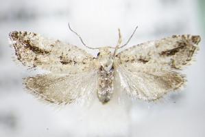 (Epinotia granitana - BC ZSM Lep 72421)  @14 [ ] Unspecified (default): All Rights Reserved  Unspecified Unspecified