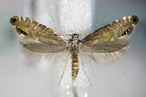 (Glyphipterix thrasonella - BC ZSM Lep 79066)  @14 [ ] CreativeCommons - Attribution Non-Commercial Share-Alike (2015) SNSB, Zoologische Staatssammlung Muenchen SNSB, Zoologische Staatssammlung Muenchen