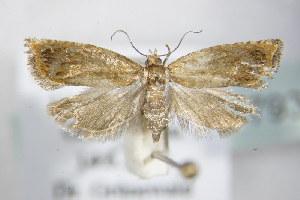 (Epinotia abbreviana - BC ZSM Lep 79319)  @14 [ ] Unspecified (default): All Rights Reserved  Unspecified Unspecified