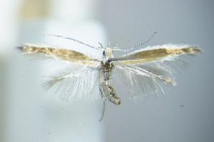 (Coleophora genistae - BC ZSM Lep 79507)  @14 [ ] Unspecified (default): All Rights Reserved  Unspecified Unspecified