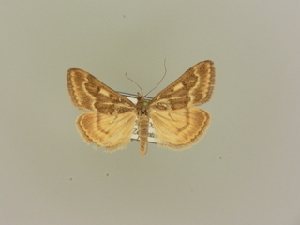 (Pyrausta limbopunctalis - BC ZSM Lep 85599)  @14 [ ] CreativeCommons - Attribution Non-Commercial Share-Alike (2015) SNSB, Zoologische Staatssammlung Muenchen SNSB, Zoologische Staatssammlung Muenchen